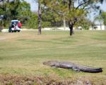golf-i-florida-alligator